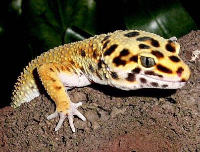 Feeding leopard geckos