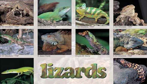 lizards-as-pets