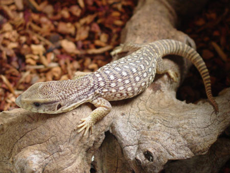 savannah-monitor