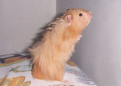 syrian-golden-hamsters