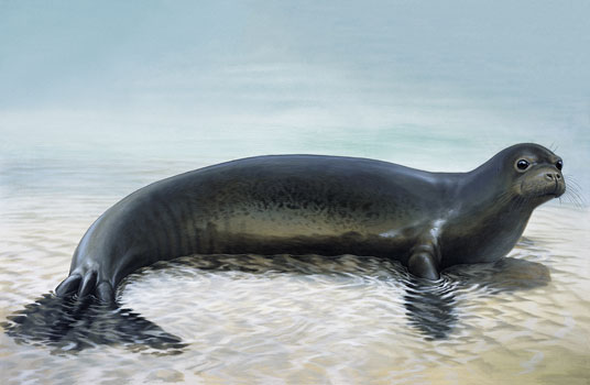 Caribbean Monk Seal