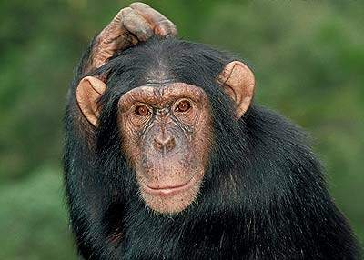 Chimps and Monkeys