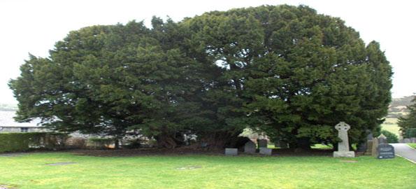 Llangernyw-Yew,-Common-Yew,