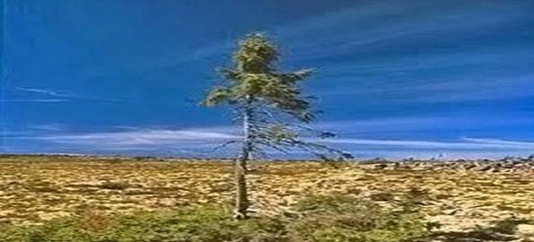 Olda-Tjikko,-Norway-Spruce,
