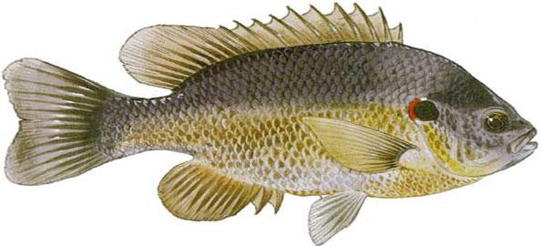 Redear-Sunfish
