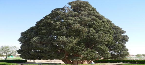 Sarv-e-Abarqu,-Cypress,-400