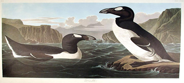 Great-Auk_-Largest-of-Auks