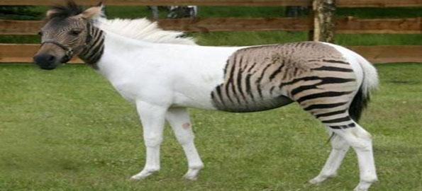 Quagga-(Half-Horse,-Half-Ze