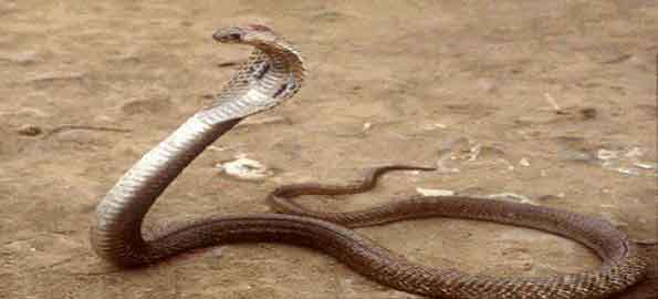 top ten most venomous snakes