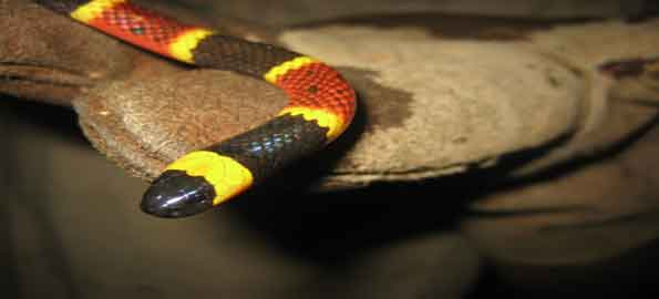 Top-10-most-venomous-snakes