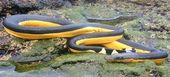 [Image: Yellow-Bellied-Sea-Snake.jpg]