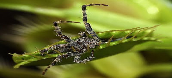 Top-10-insect-eating-plants