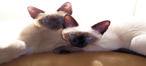 Top-10-cat-breeds-that-should-be-avoided