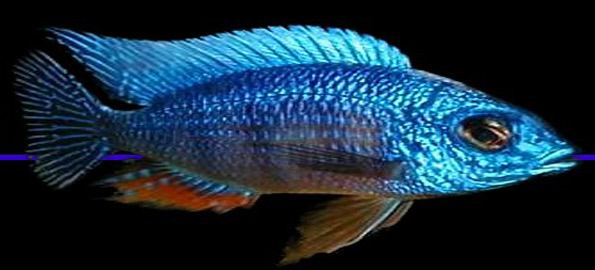 Superior Top 10 African Cichlids 2 African