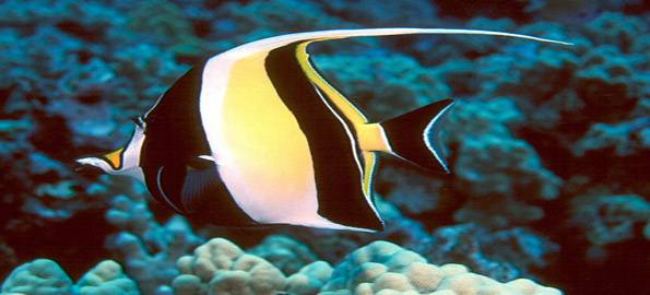 Yellow saltwater fish with black stripes these fish have wide black