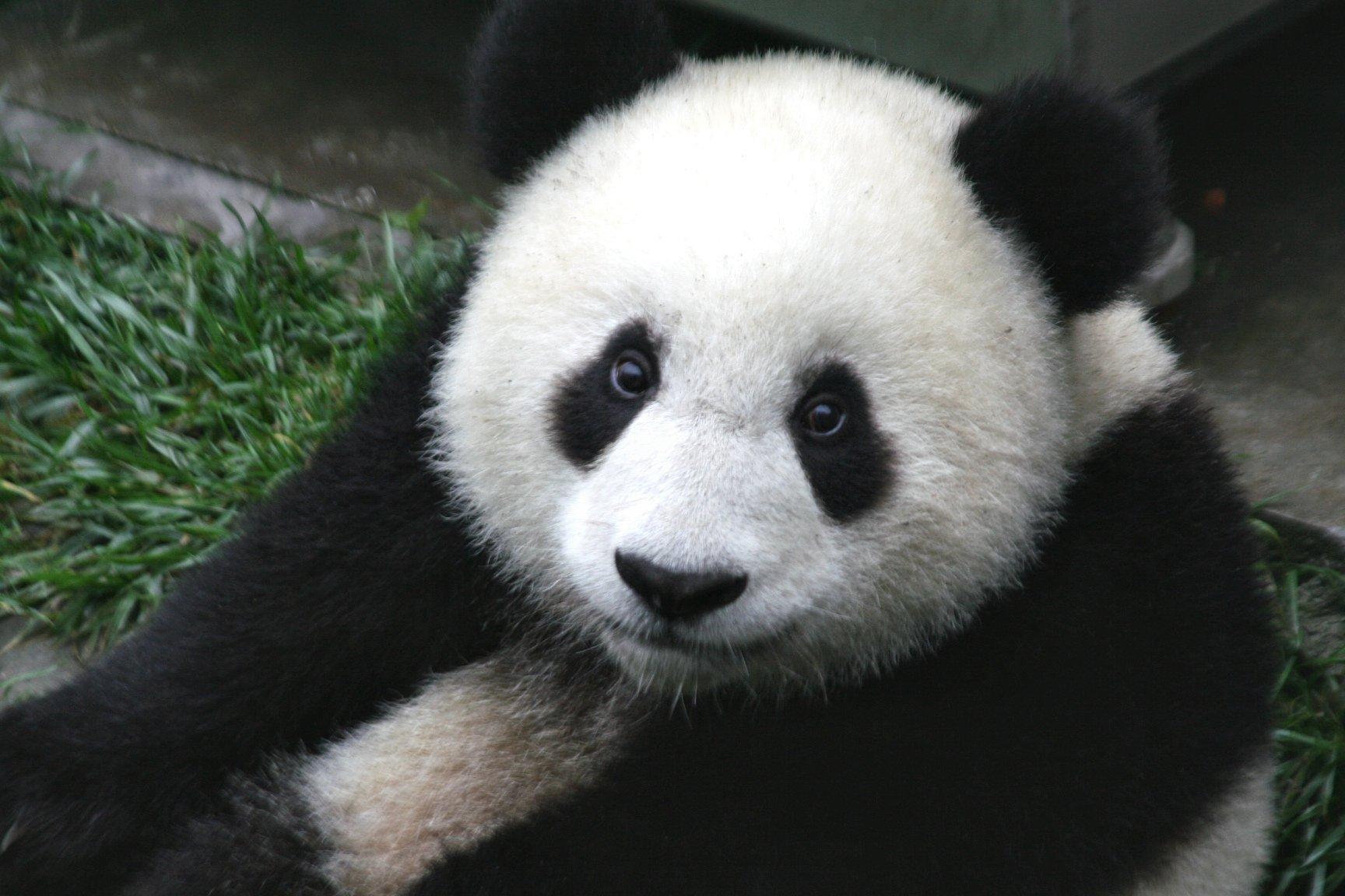 endangered panda