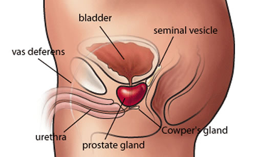 Sex And The Prostate Gland