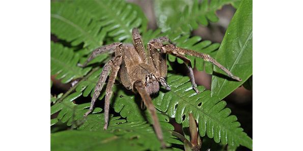 BRAZILIAN WANDERING SPIDER VENOM