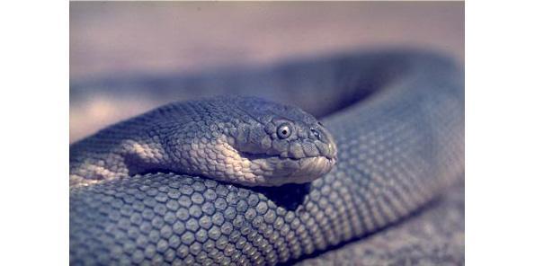 Beaked sea snake venos