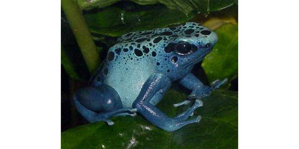 Dart frog poison