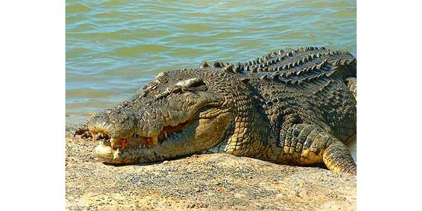 Australian Salt Water Crocodile