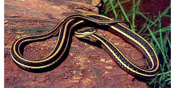 Eatern RIbbon Snake