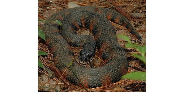 branded water snake