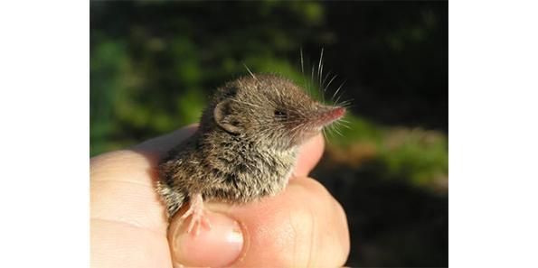etruscan pygmy shrew